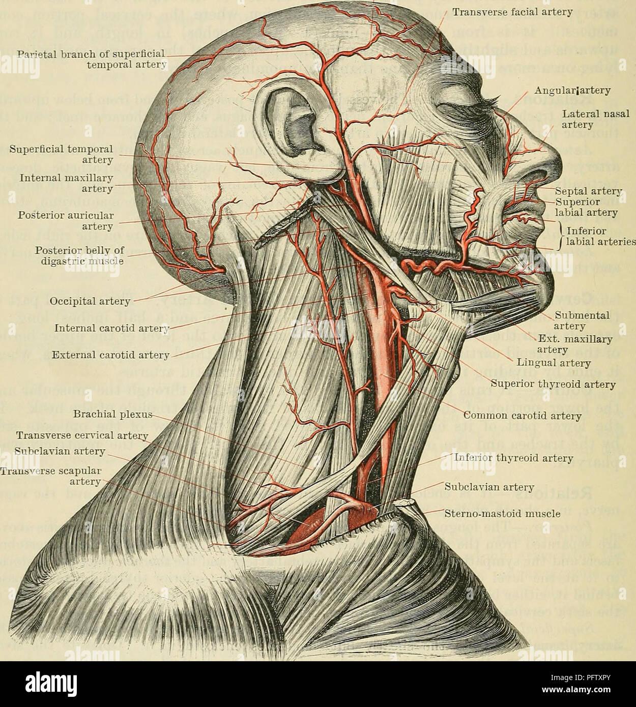 Cunninghams Lehrbuch der Anatomie. Anatomie. 890 Die VASCULAE SYSTEM ...