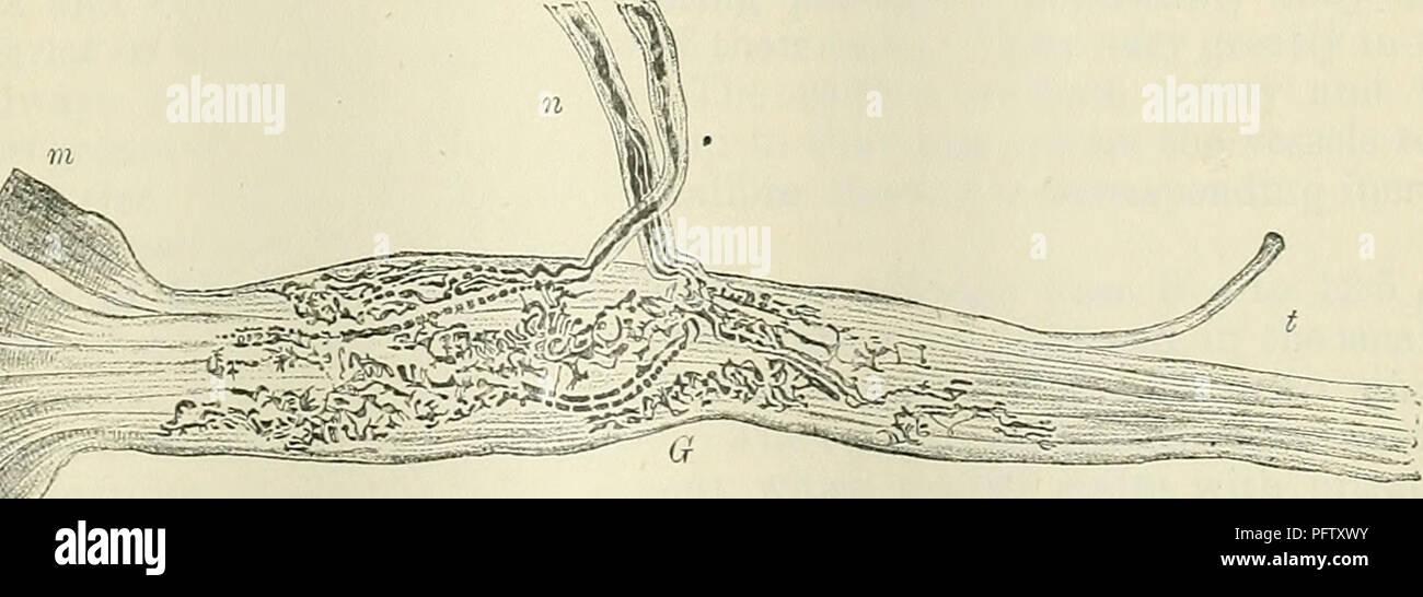 Cunninghams Lehrbuch der Anatomie. Anatomie. Abb. 744. - ein Organ ...