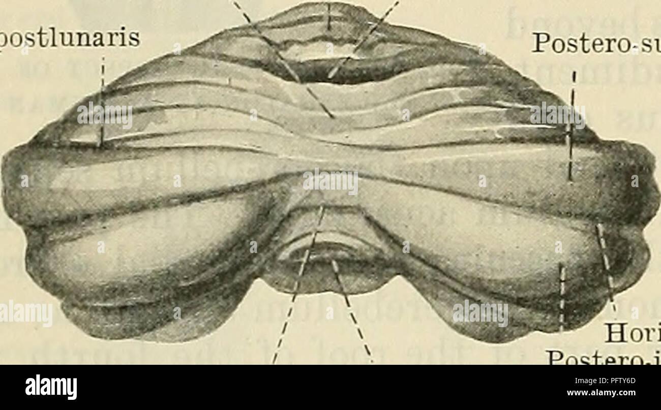 Cunninghams Lehrbuch der Anatomie. Anatomie. Post-noduläre riss ...