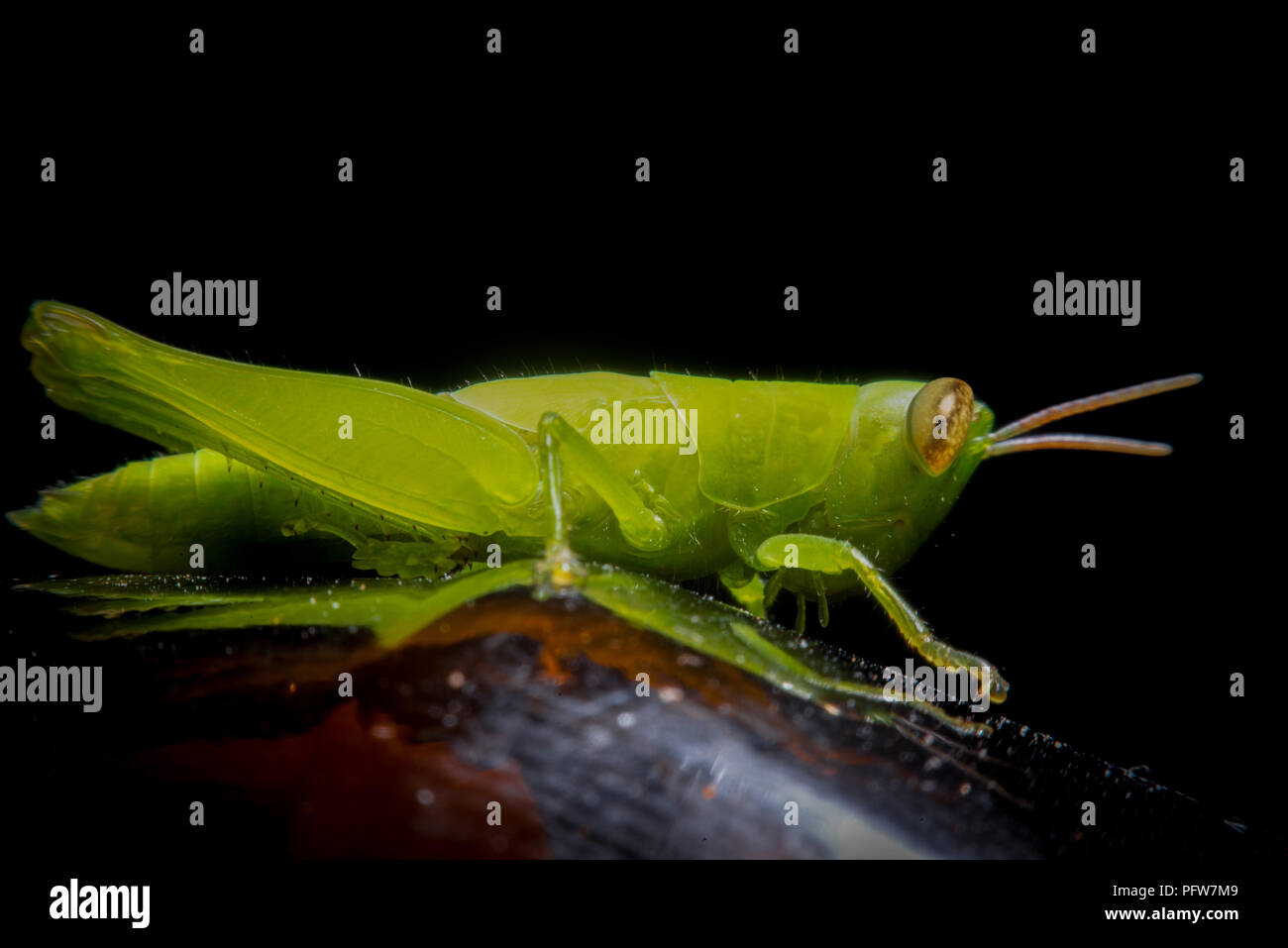 Grüne Heuschrecke auf Gras Zuckerrohr auf grünem Hintergrund unscharf, Makrofotografie nah Heuschrecke Stockbild