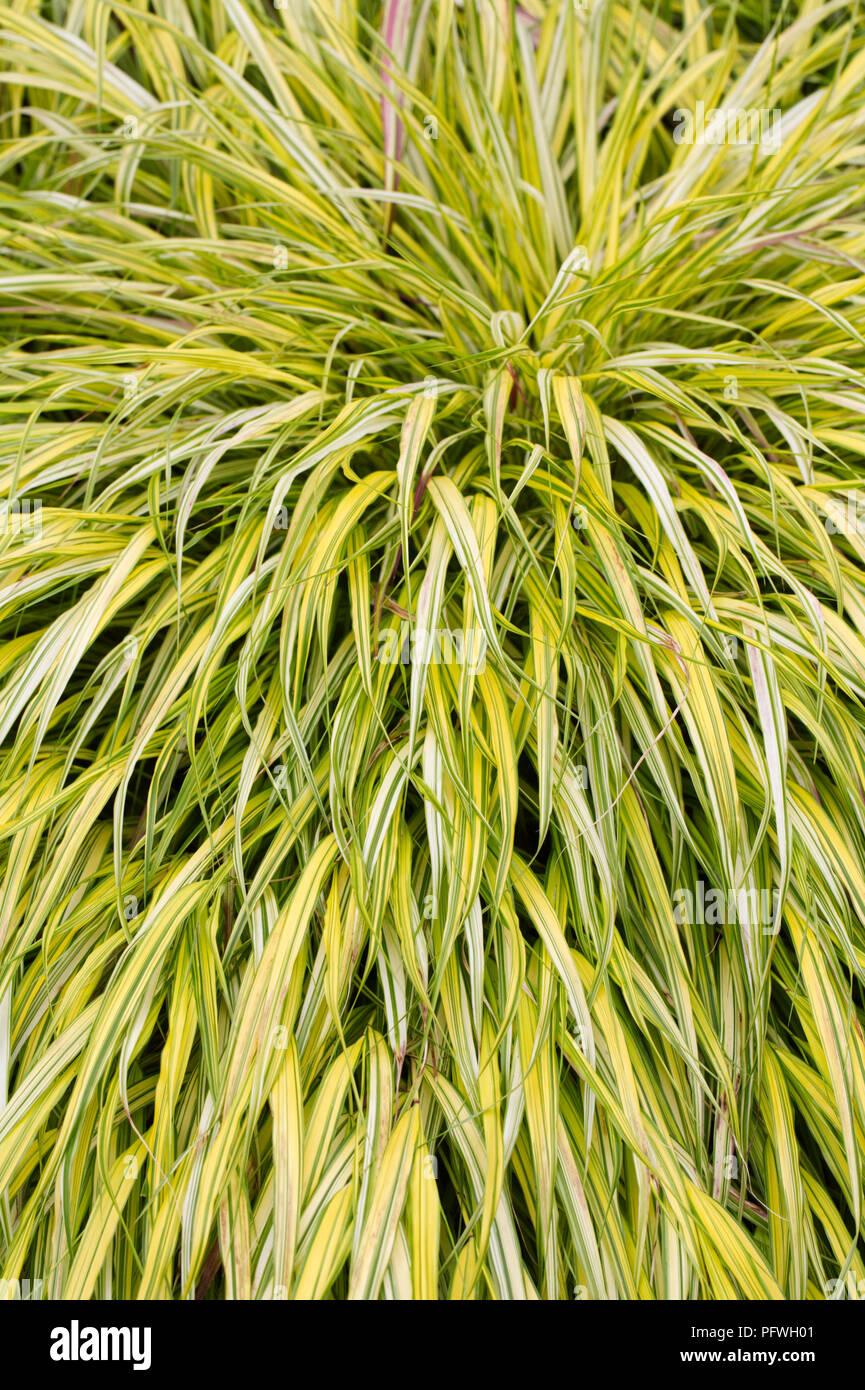 Hakonechloa macra 'Aureola' Gras. Stockbild