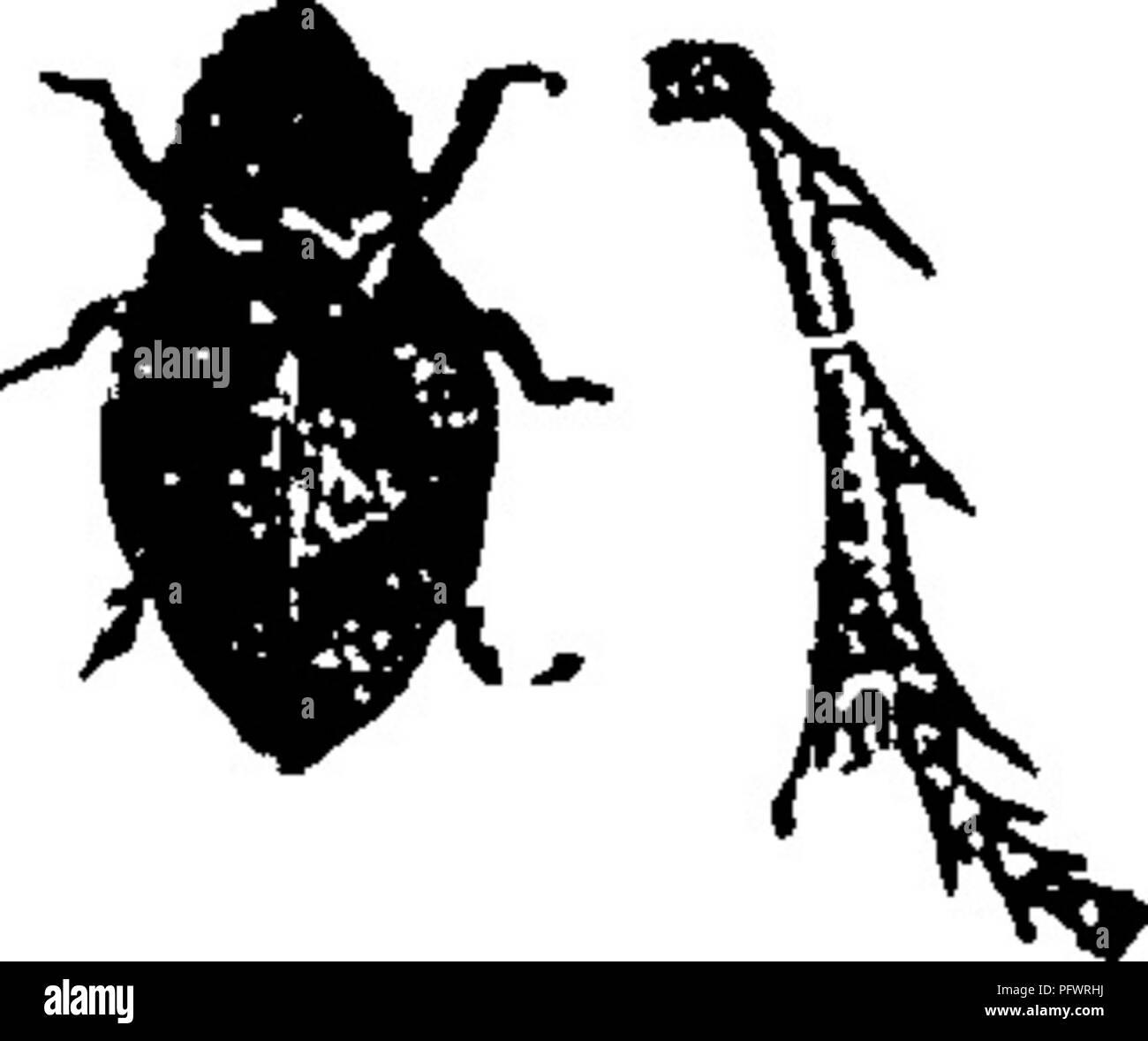 . Ein Handbuch für die Untersuchung von Insekten. Insekten. HEMIPTERA. 153 der Haut ist. Die erwachsenen Insekten umher auf Gräsern und Bäumen. Sie haben die Macht, gut springend. Der Name Frosch - Trichter hat zweifellos aus der Tatsache, dass früher der Schaum genannt wurde^* Frosch - Speichel/' und W^als vermeintliche durch Baum storniert zu haben - Frösche aus ihrem Mund gewachsen. Der Name ist jedoch nicht unangebracht, für die Breite und Form unserer mehr gemeinsame Arten ist so etwas wie ein Frosch. In dieser Familie die Antennen sind vor und zwischen den Augen eingefügt, der prothorax ist nicht wieder verlängert Stockbild