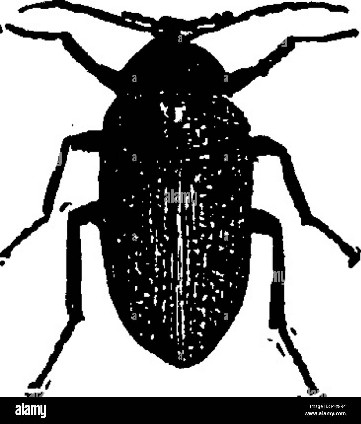 . Ein Handbuch für die Untersuchung von Insekten. Insekten. COLEOPTERA, 585 Arten. Sie sind klein, schwarz, oval, heteromerous Käfer, in dem der anterioren coxal Hohlräume sind offen hinter; und, in denen die Antennen sind in den Nuten auf der Unterseite des prothorax empfangen. Die Familie MELANDRYlDiE (Mel-eine-dry i-dae) umfasst rund 60 Arten in Nordamerika. Diese sind unter Rinde und in Pilzen gefunden. Sie sind in der Regel der länglichen Form, obwohl einige, wie das hier dargestellt, sind nicht so. Der oberkiefer Palpen sind häufig sehr lange und viel geweitet, und das erste Segment des Hind tarsi ist immer muc Stockbild