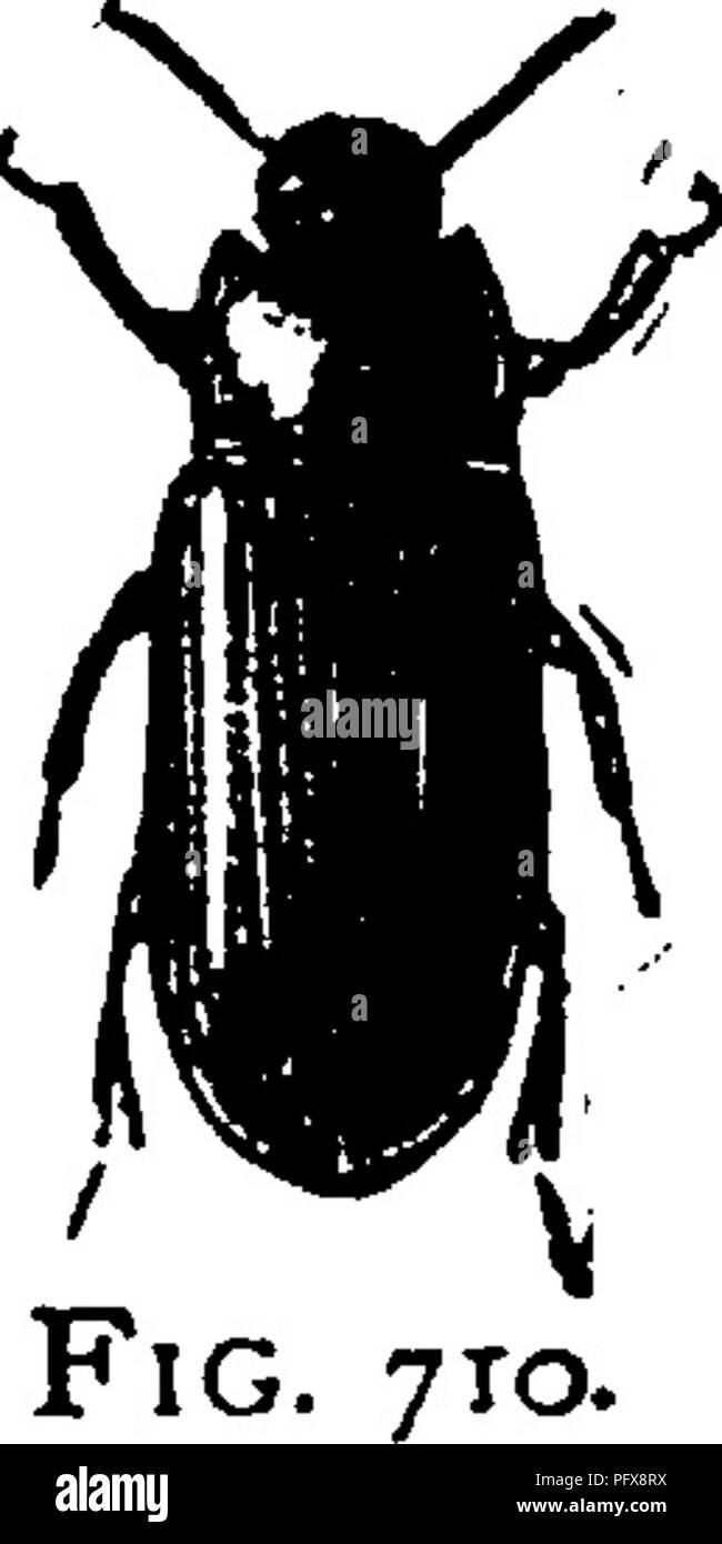 . Ein Handbuch für die Untersuchung von Insekten. Insekten. COLEOPTERA. 583 in der Form des Körpers. Wie bei den bhster - Käfer, die Hinterbeine tarsi sind vier - verbunden, und die vorderen und mittleren tarsi sind fünf - verbunden; aber unhke die Mitglieder der Familie, den Körper und die Flügel - Abdeckungen sind fest, und der Kopf ist schmaler als die prothorax. Diese Insekten auftreten, vor allem in trockenen und warmen Regionen. Während also wir haben vergleichsweise wenige Arten in der Nord-östlichen Vereinigten Staaten, es gibt viele im Südwesten. Die meisten Arten ernähren sich von trockenen pflanzlichen Materie, und oft auf das teilweise zerlegt; einige leben in Mist Stockbild