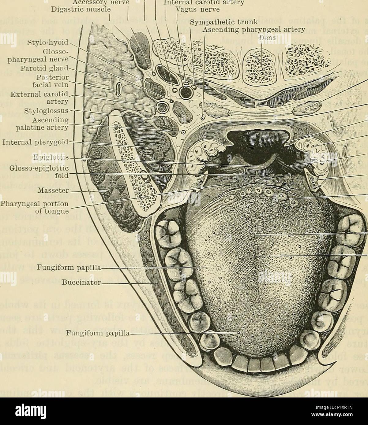 Cunninghams Lehrbuch der Anatomie. Anatomie. 1143 DAS ...