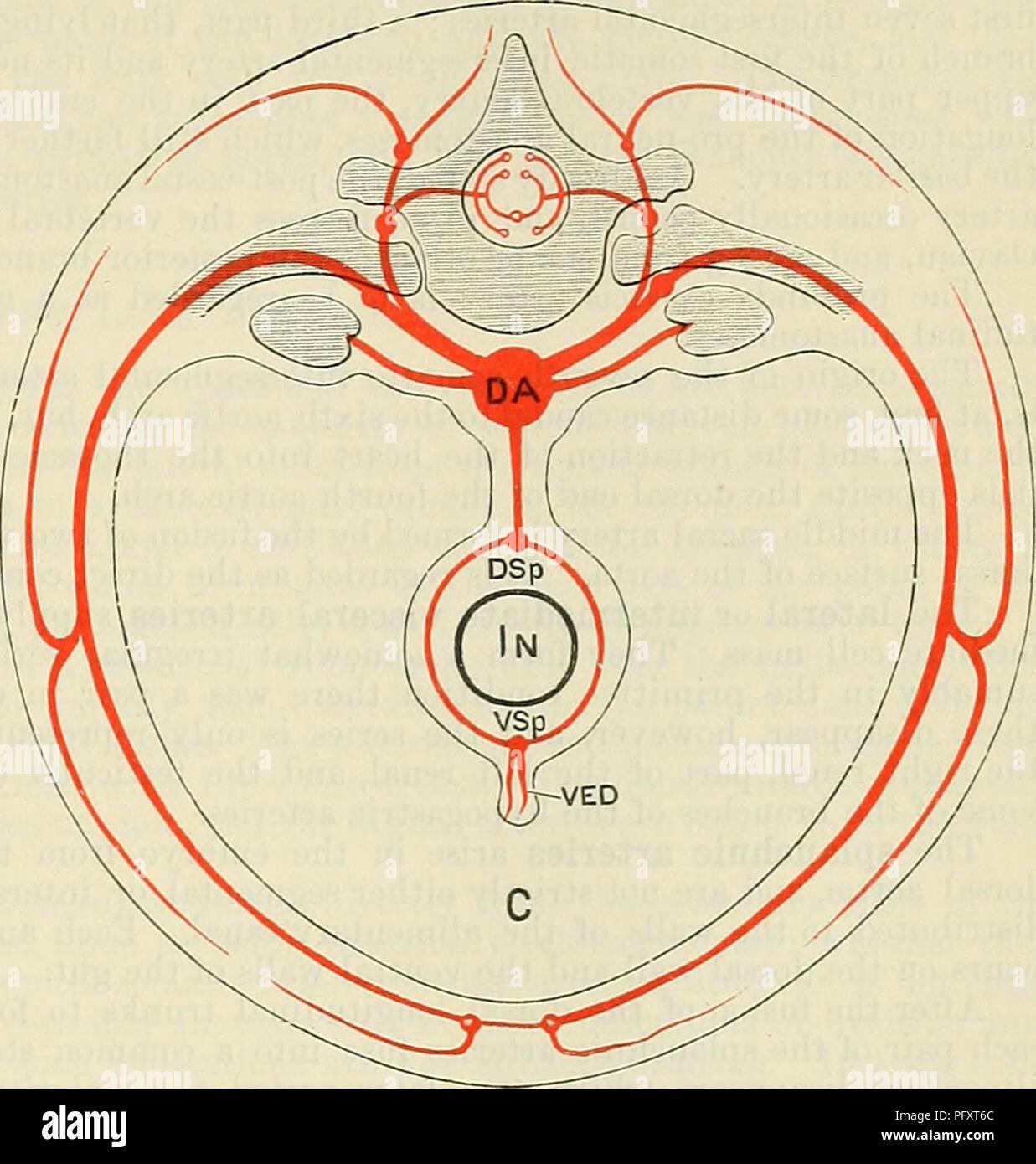 Cunninghams Lehrbuch der Anatomie. Anatomie. Die segmentale Arterien ...