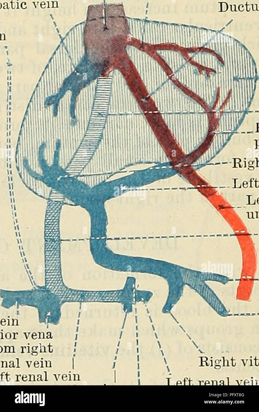 Cunninghams Lehrbuch der Anatomie. Anatomie. Links lateral Nabelvene ...