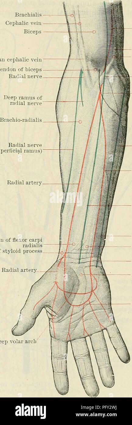Cunninghams Lehrbuch der Anatomie. Anatomie. Die FOKEAKM UND HAND ...