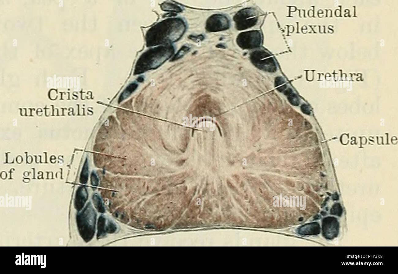 Cunninghams Lehrbuch der Anatomie. Anatomie. Ejakulatorische Kanäle ...