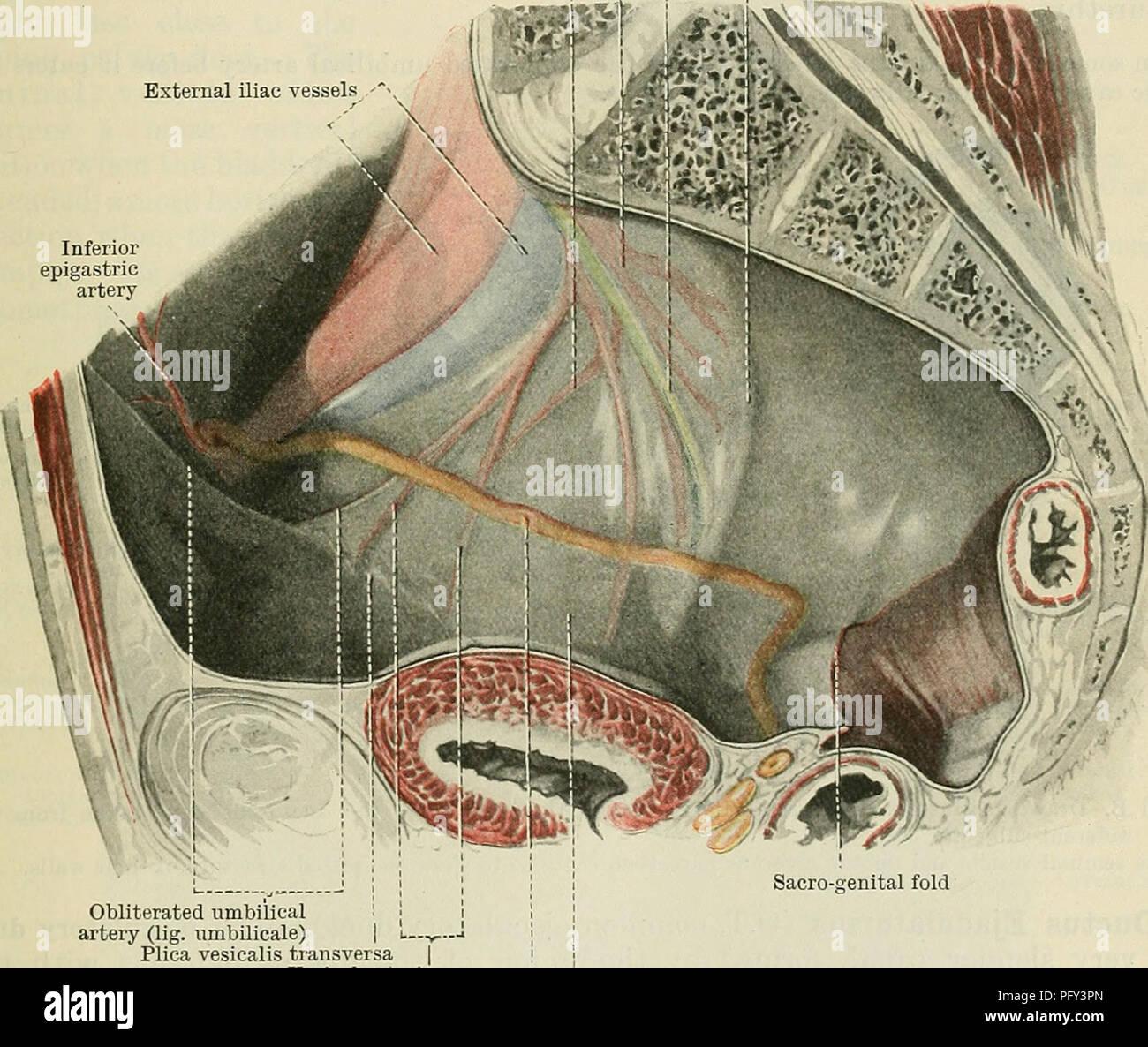 Cunninghams Lehrbuch der Anatomie. Anatomie. Die DEFEKENT KANAL ...