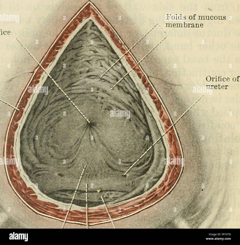 Cunninghams Lehrbuch der Anatomie. Anatomie. 127 S DIE UMNO ...