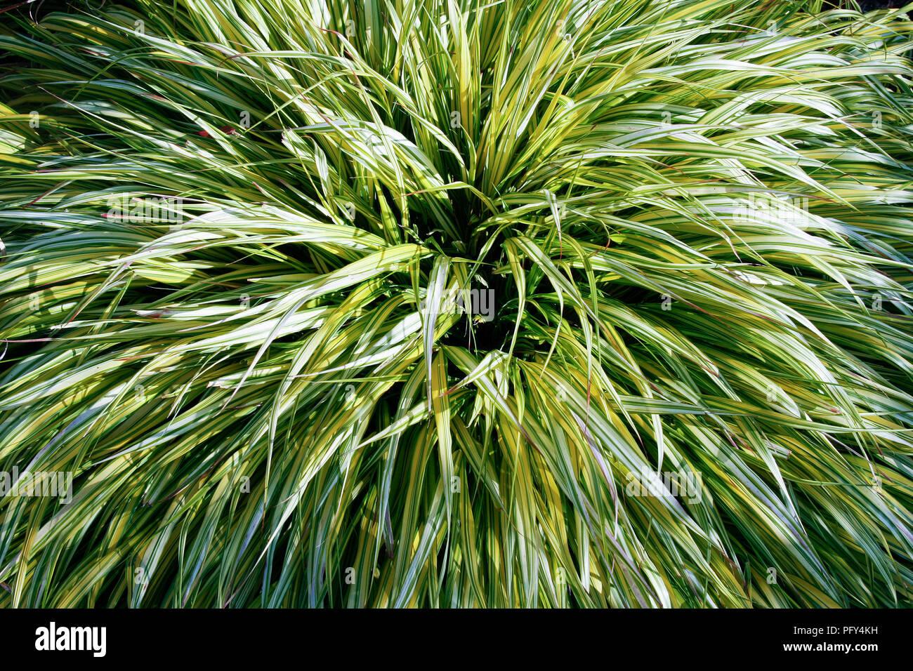 Nahaufnahme eines Klumpen Hakonechloa Macra Aureola (Golden Hakonechloa) Stockbild