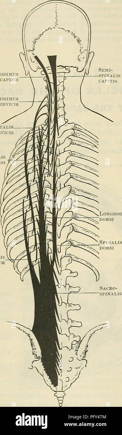 Cunninghams Lehrbuch der Anatomie. Anatomie. 438 Die MUSCULAK SYSTEM ...