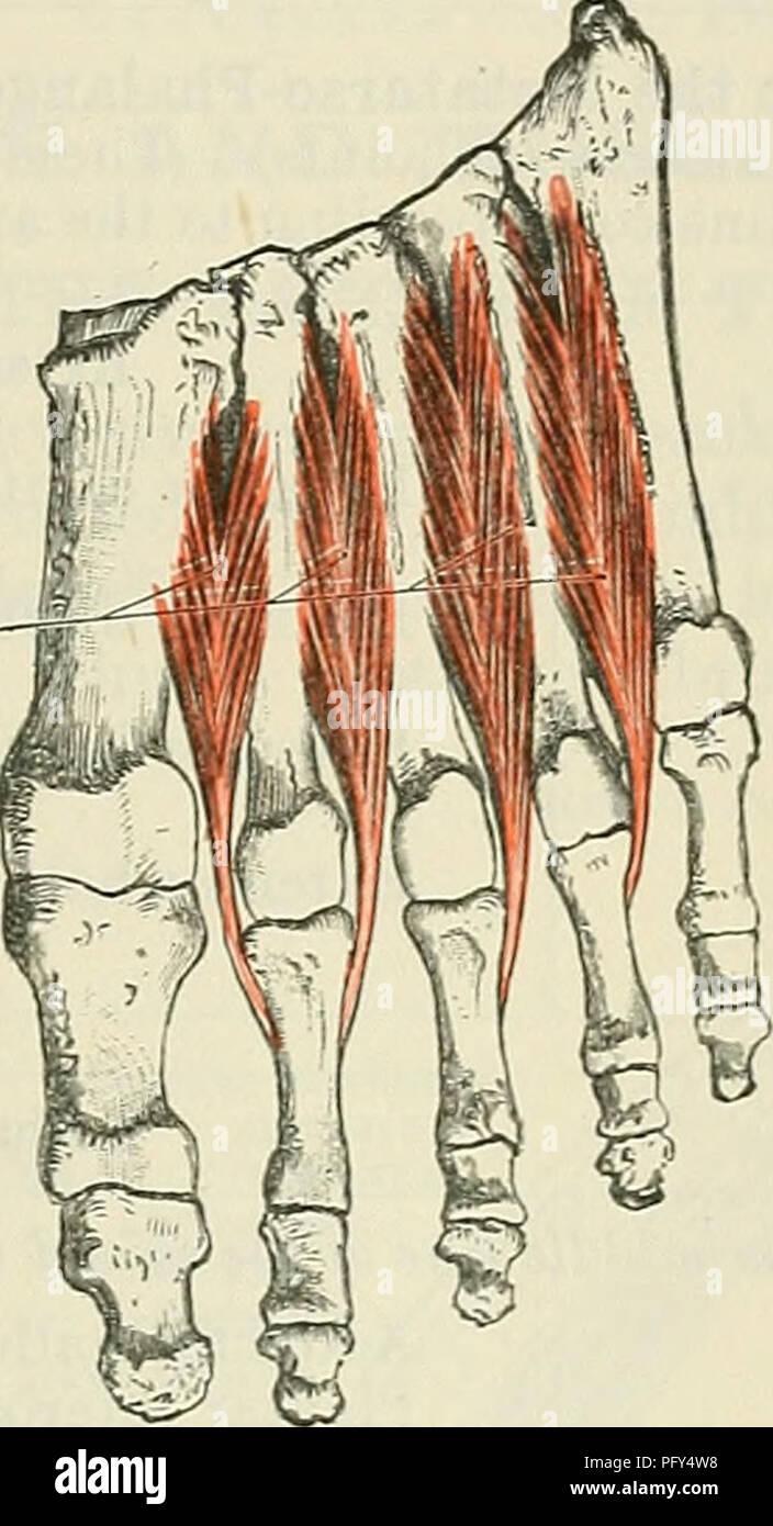Cunninghams Lehrbuch der Anatomie. Anatomie. Die Muskeln, die in der ...