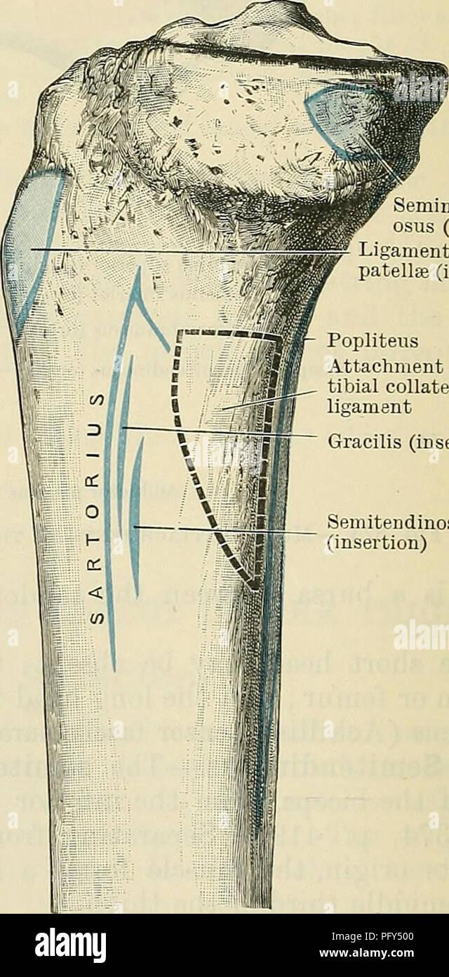 Cunninghams Lehrbuch der Anatomie. Anatomie. Tibialis Muskelsehne ...