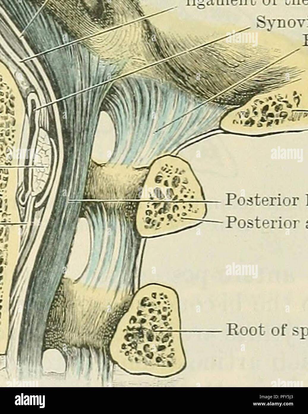 Cunninghams Lehrbuch der Anatomie. Anatomie. AETICULATION VON ATLAS ...