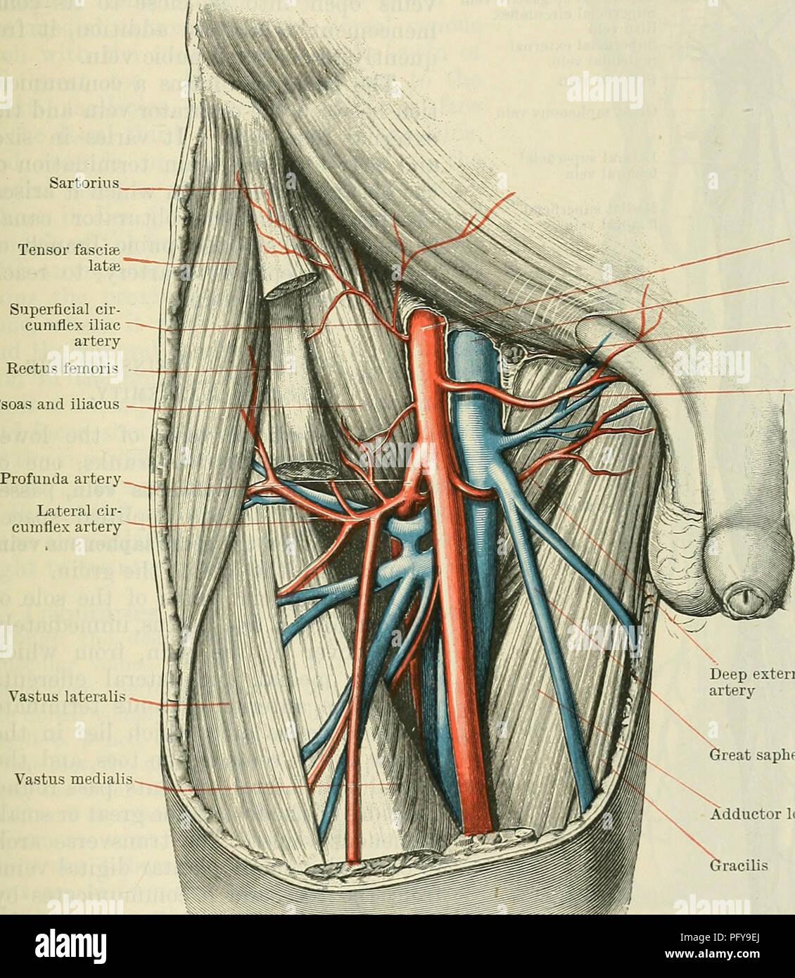 Cunninghams Lehrbuch der Anatomie. Anatomie. Die tiefen Venen DES ...