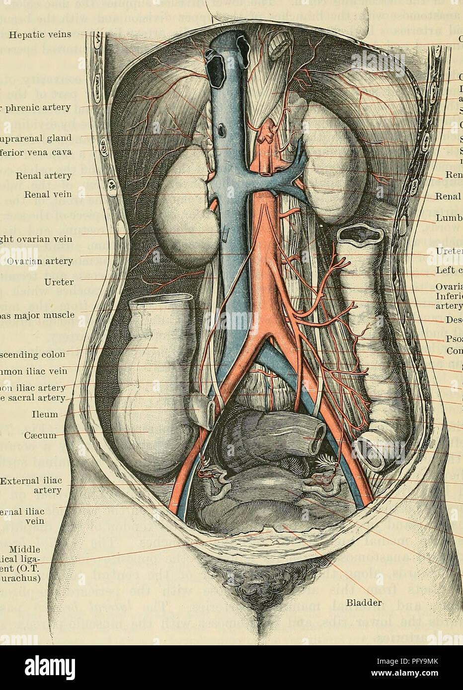 Cunninghams Lehrbuch der Anatomie. Anatomie. 934 Die VASCULAB SYSTEM ...