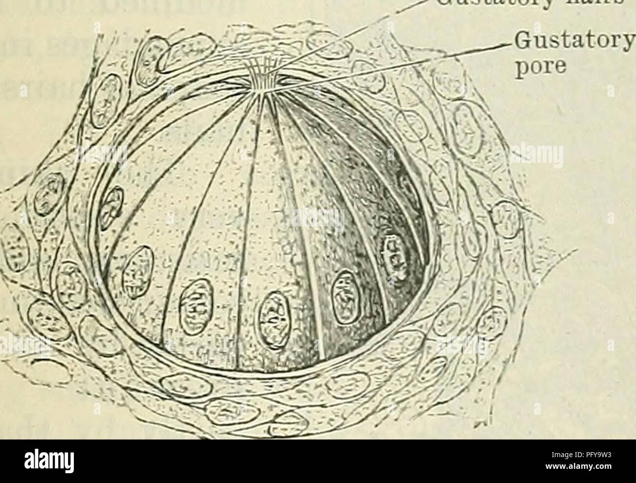Cunninghams Lehrbuch der Anatomie. Anatomie. --_\
