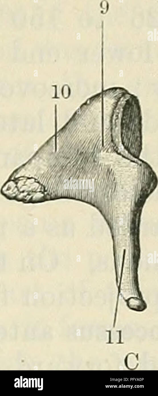 Cunninghams Lehrbuch der Anatomie. Anatomie. AUDITOEY ...