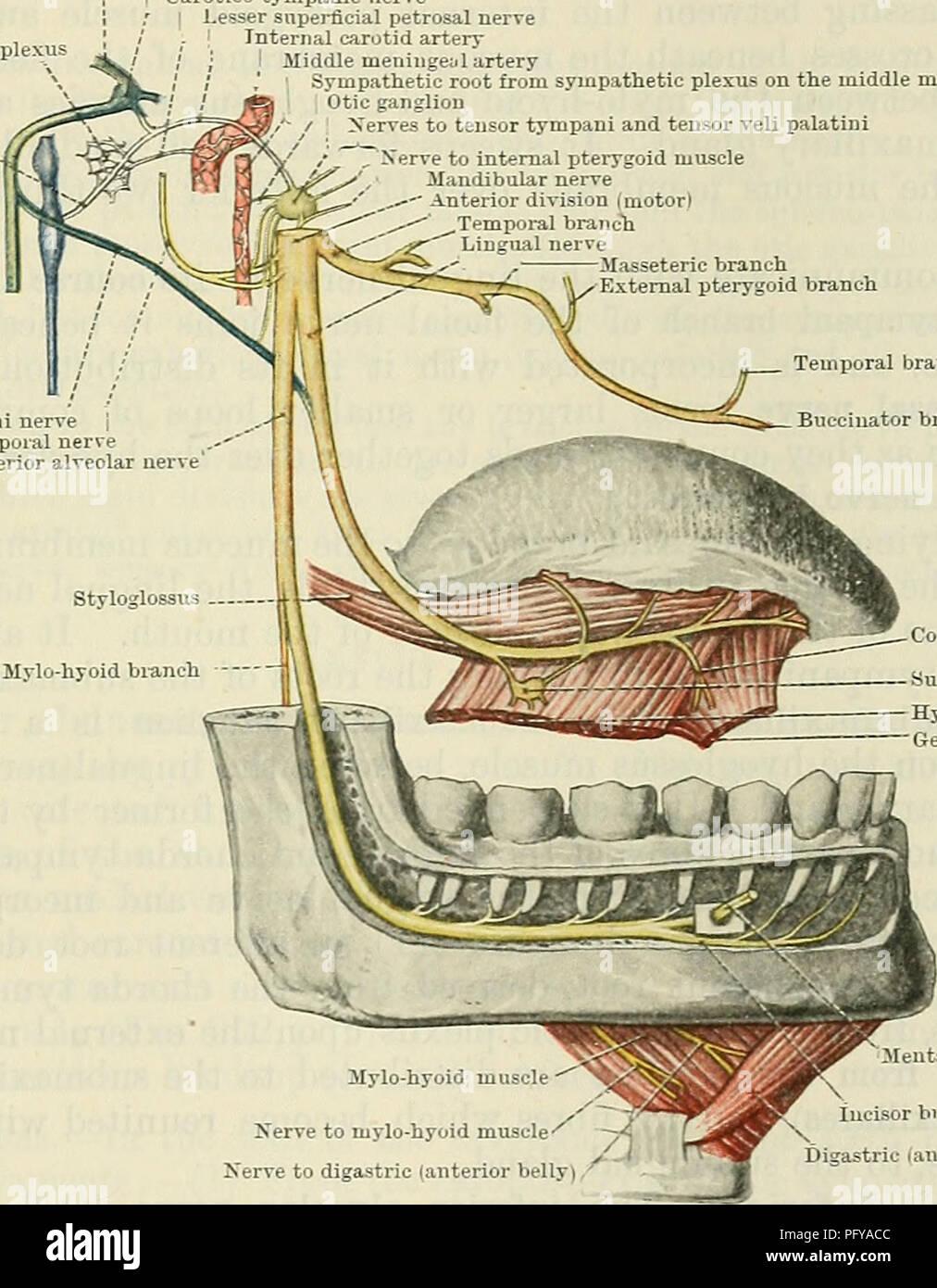 Cunninghams Lehrbuch der Anatomie. Anatomie. Mandibularnerv. 779 ...