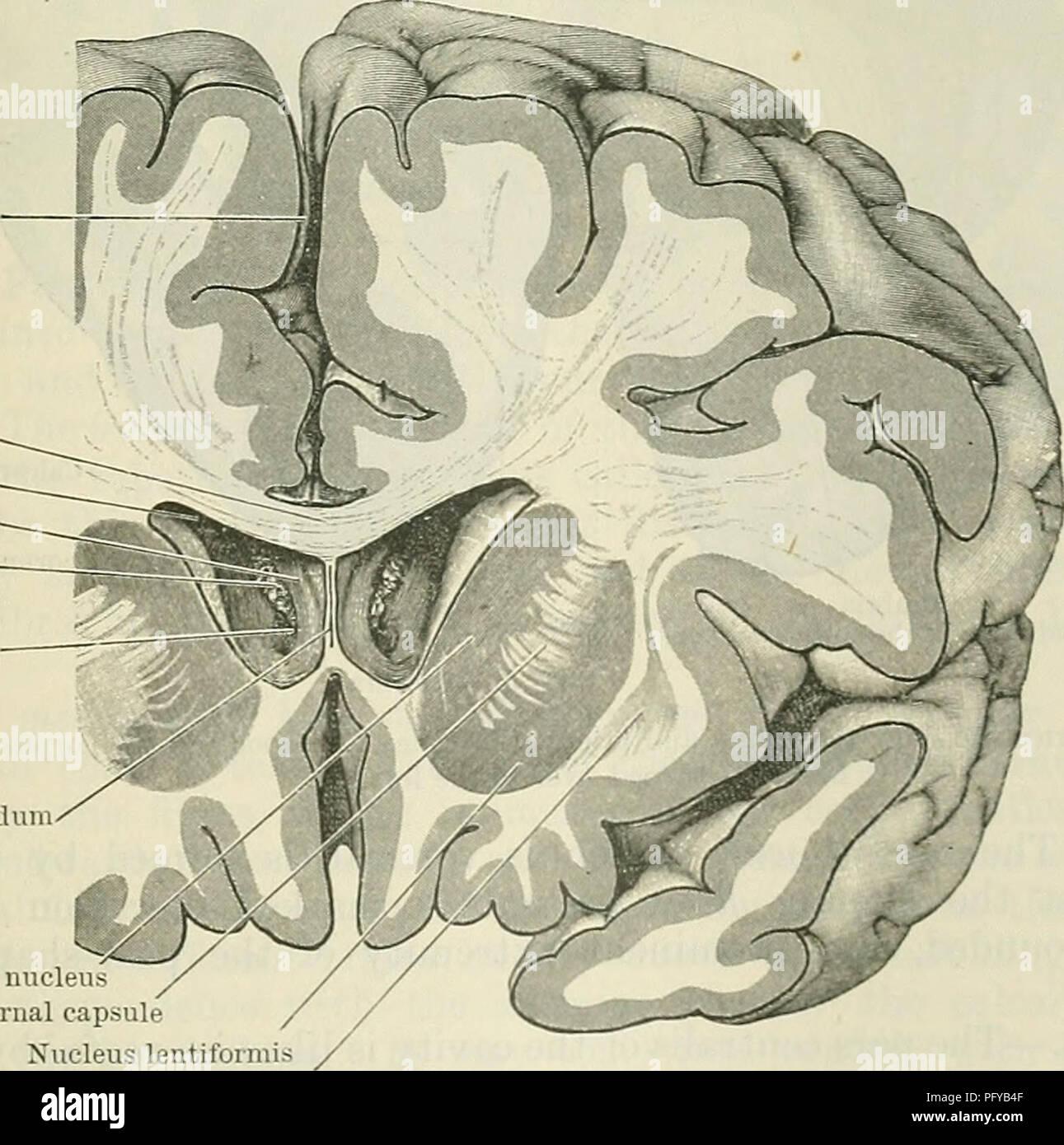 Cunninghams Lehrbuch der Anatomie. Anatomie. Längs- riss Corpus ...