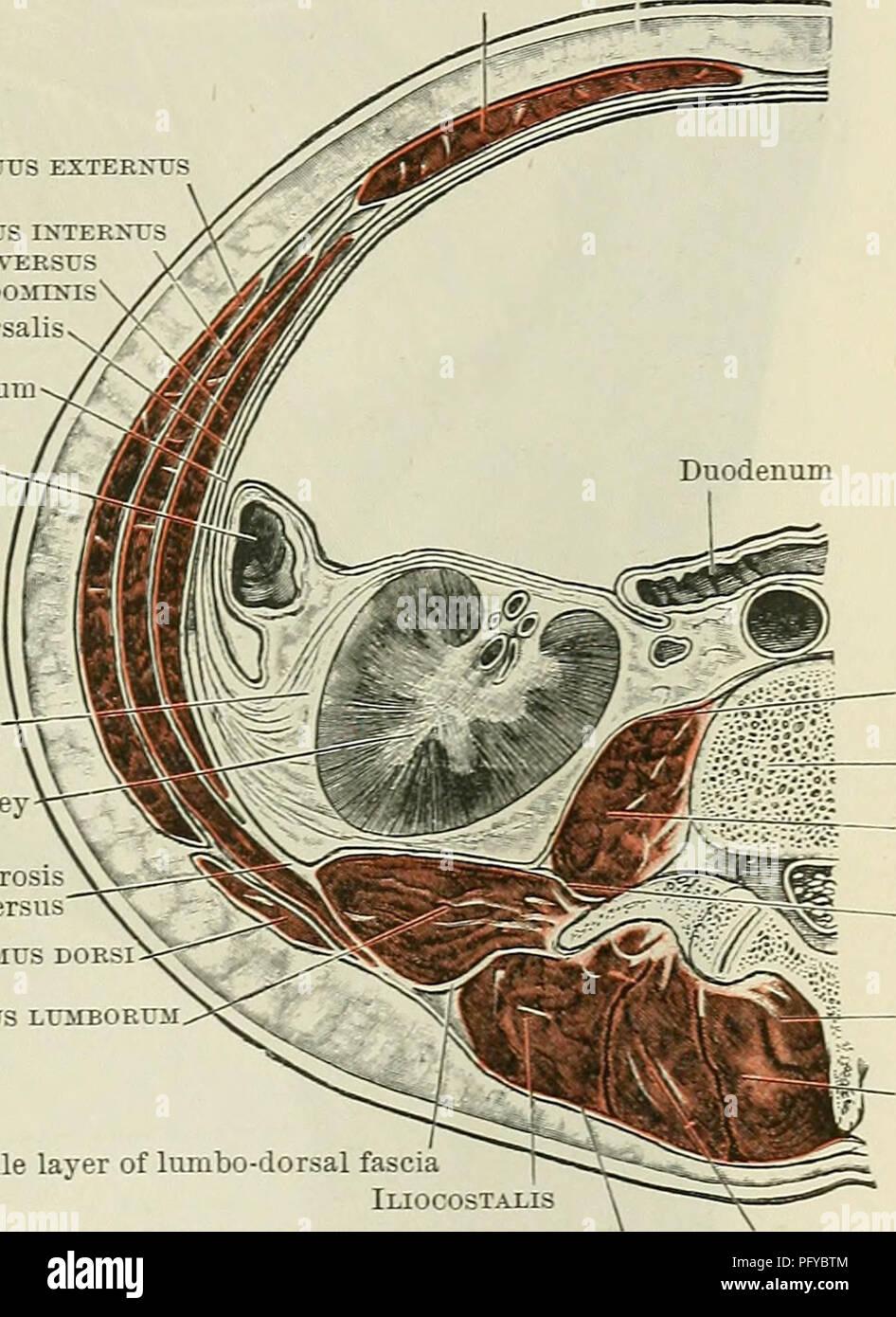 Cunninghams Lehrbuch der Anatomie. Anatomie. Die MUSKELN DER ...