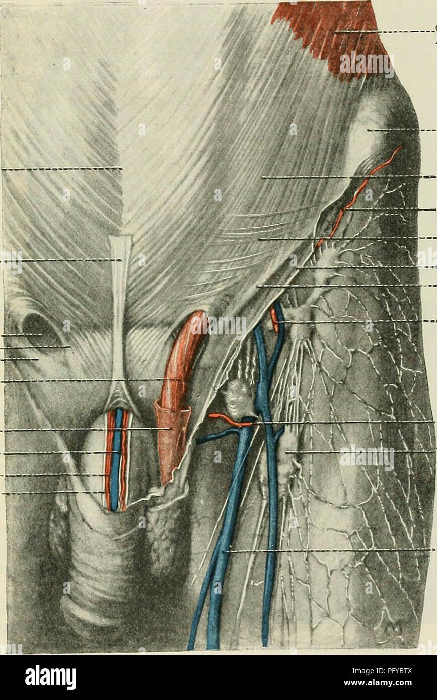 Cunninghams Lehrbuch der Anatomie. Anatomie. FASCLE und Muskeln der ...