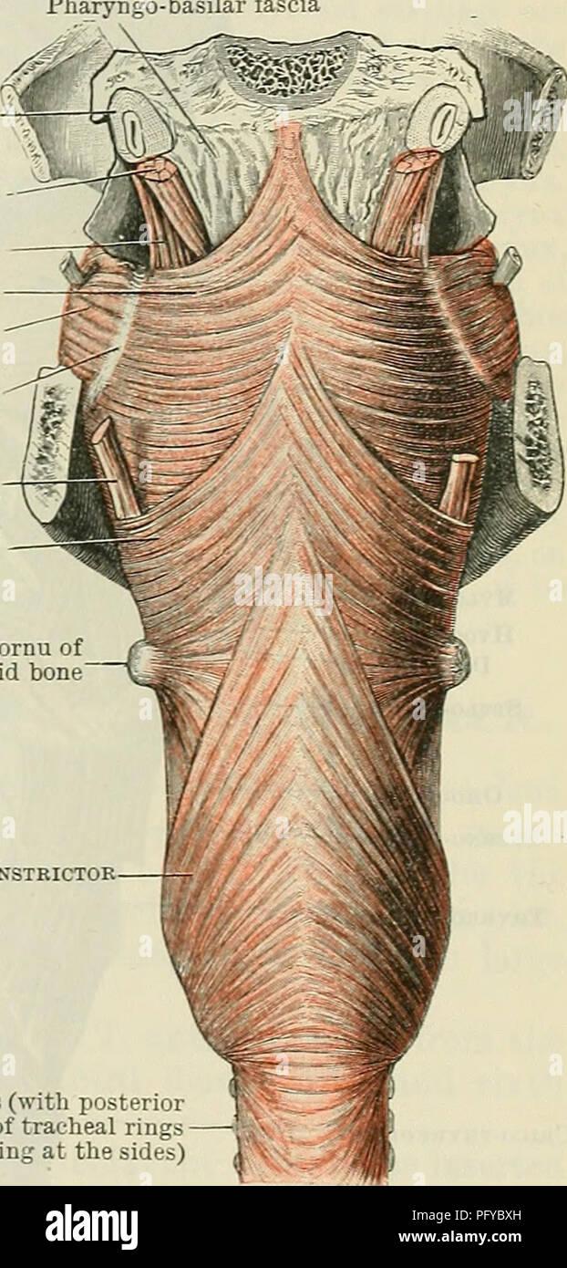 Cunninghams Lehrbuch der Anatomie. Anatomie. Die MUSKELN DES PHAKYNX ...