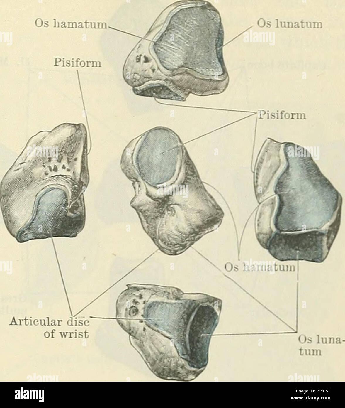 Cunninghams Lehrbuch der Anatomie. Anatomie. Die CAKPUS. 221 Os ...