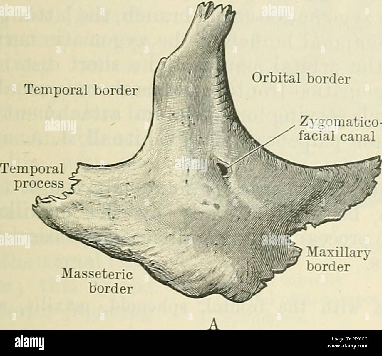 Cunninghams Lehrbuch der Anatomie. Anatomie. Die JOCHBEINBOGEN ...