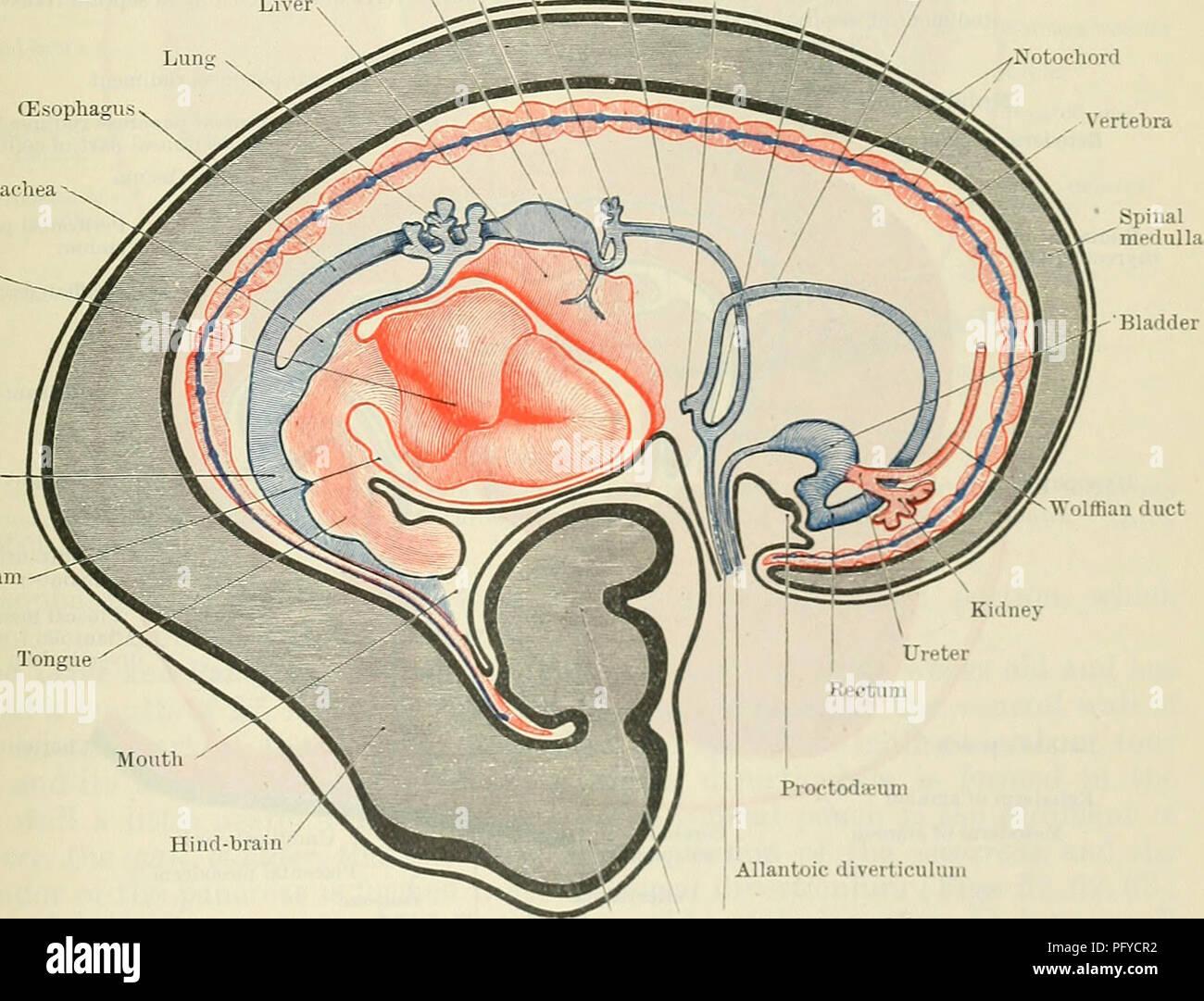 Cunninghams Lehrbuch der Anatomie. Anatomie. Abb. 59. - Blick auf ...