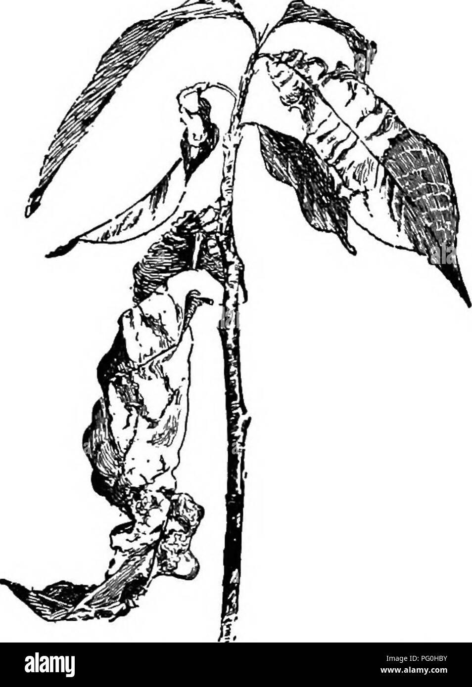 Cyclopedia Der Amerikanischen Gartenbau, Bestehend Aus Anregungen Für Den  Anbau Von Gartenpflanzen, Beschreibungen .