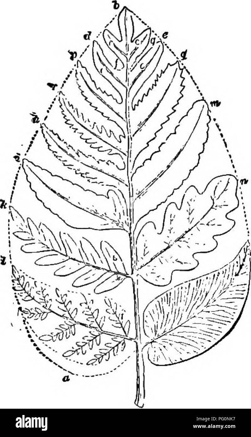 Anfänger Botanik. Botanik. PHENOGAMS UND KRYPTOGAMEN 181 ...