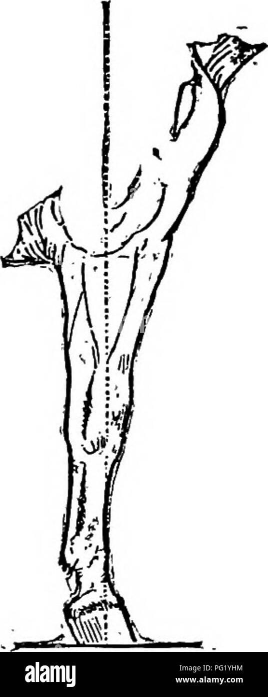 """. Die Familie Pferd: seine Stallungen, Pflege und Fütterung: ein praktisches Handbuch für Pferd-keepers. Pferde. 16 DIE FAMILIE PFERD. Größe und gute Frösche und breiten Heels. """"Kein Frosch, kein Fuß j kein Fuß, kein Pferd."""" Die Fesseln sollte kurz, mit runden, glatten Gelenke, gute Größe cannon Bone, ebenfalls kurz, mit klarem Bänder und Sehnen, große Knie- und Sprunggelenke sauber und knochig, lange Unterarm, und aus der Hüfte zu Sprunggelenk, Knie weit auseinander; breit und muskulös Hüften, eine weU-bemuskelt und sUghtly-gewölbte Lenden, kurzer Rücken, sound Barrel, tiefe Grö?e und schrägen Schultern, eine breite Brust und schön gewölbten Stockbild"""