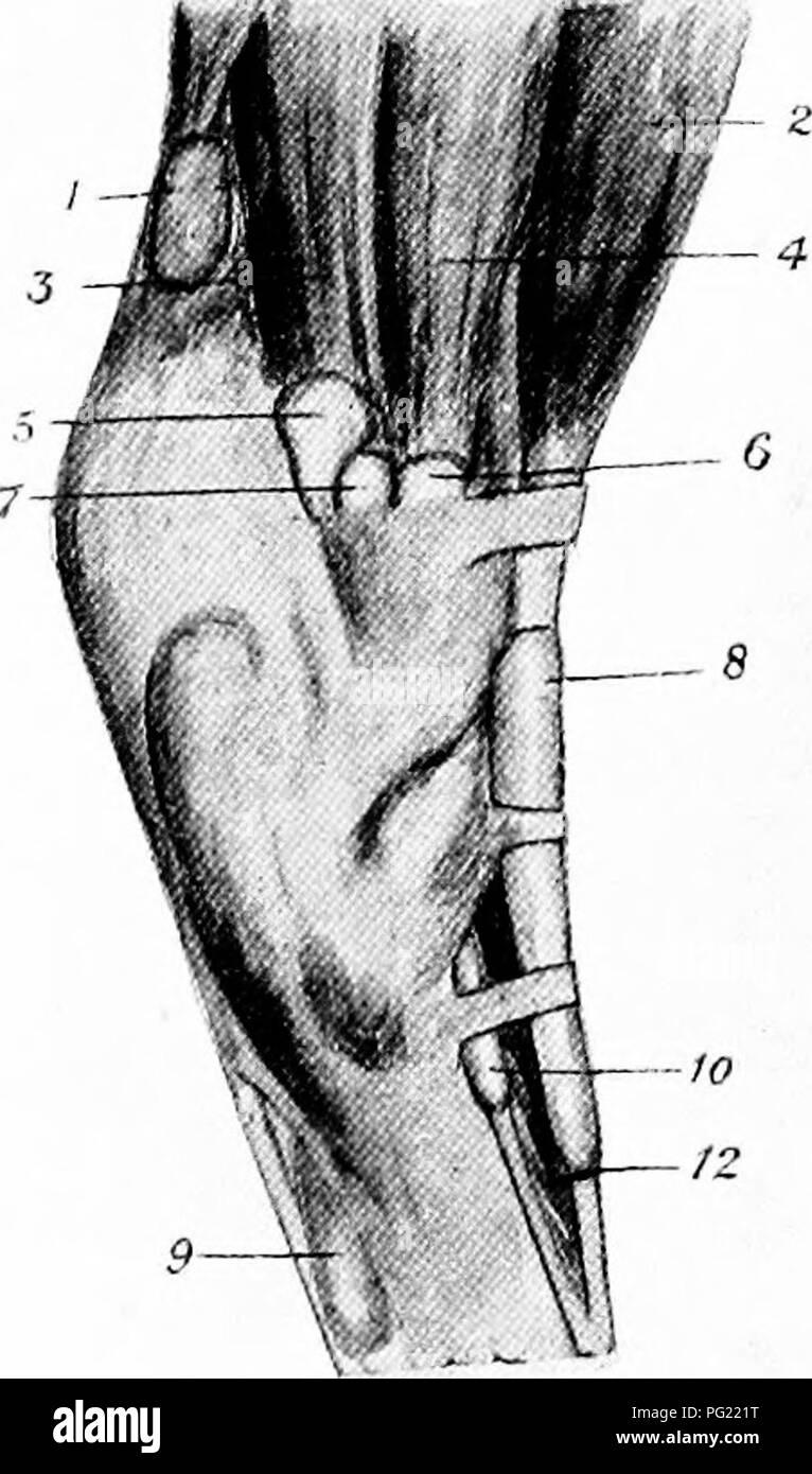 Die chirurgische Anatomie des Pferdes... Pferde. Platte XX. A.-BURS ...