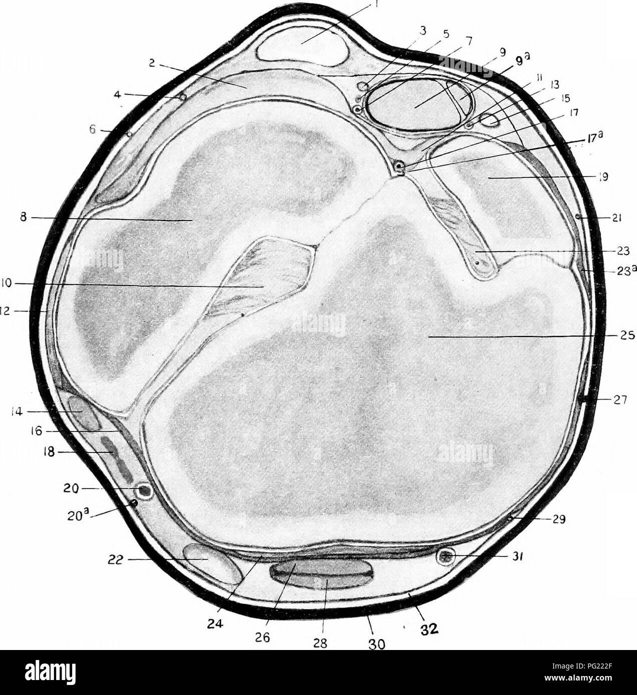 Die chirurgische Anatomie des Pferdes... Pferde. Platte XIX ...