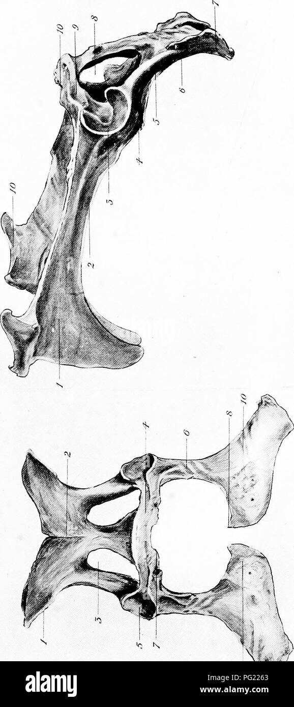 Die chirurgische Anatomie des Pferdes... Pferde. ^. ^o m M W8^2 5 O ...