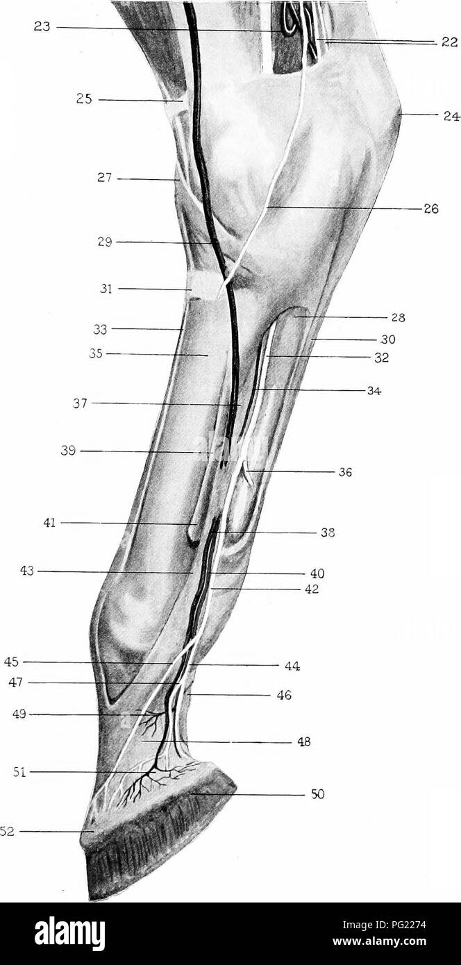 Die chirurgische Anatomie des Pferdes... Pferde. Platte VI ...