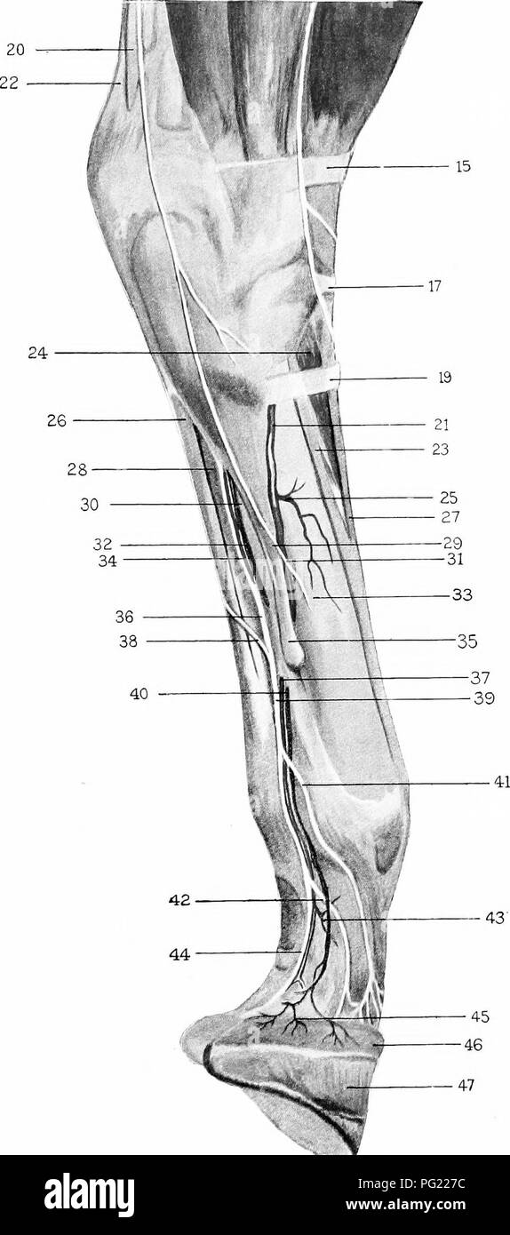 Die chirurgische Anatomie des Pferdes... Pferde. Platte IV ...