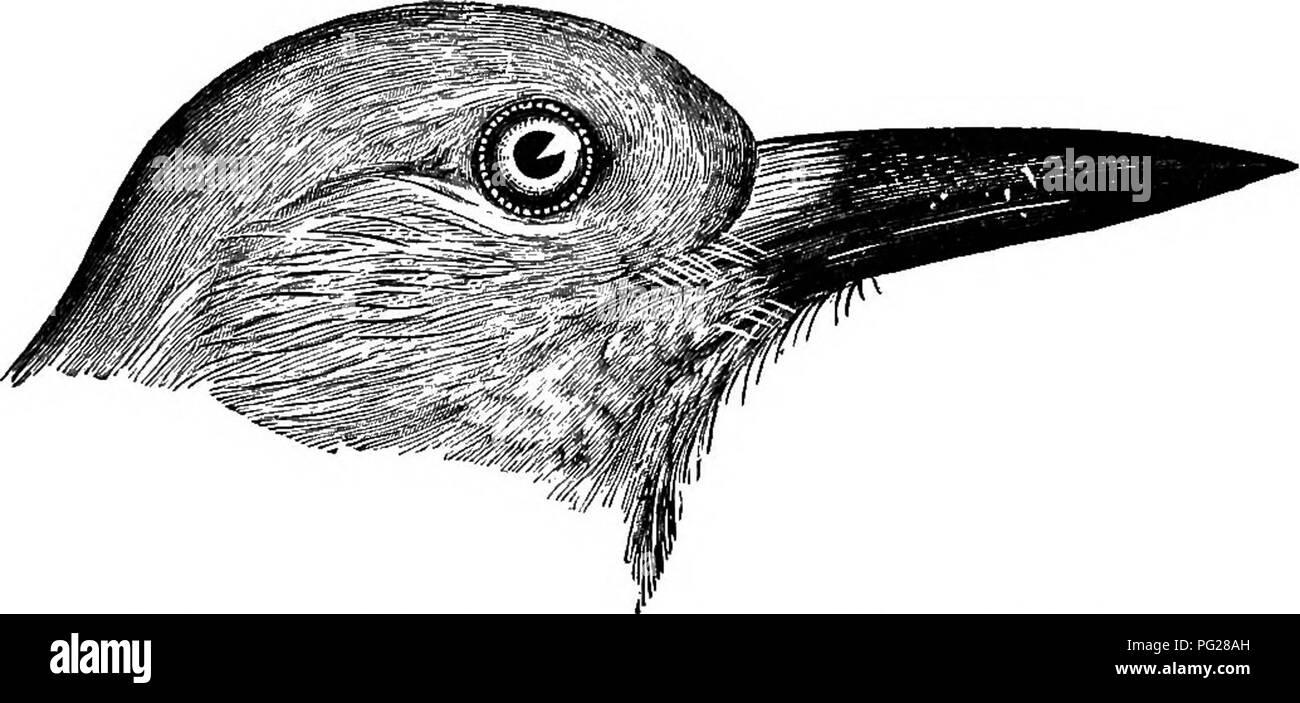 . Schlüssel für nordamerikanische Vögel. Enthält eine kurze Beschreibung aller Arten von Wohn- und fossiler Vogel bei vom Kontinent nördlich der mexikanischen Grenze und die Vereinigten Staaten, inklusive der Grönland und unteren Kalifornien, mit dem bekannten vorhanden sind allgemeine Ornithologie: einen Überblick über die Struktur und die Systematik der Vögel; und Feld Ornithologie, ein Handbuch für die Sammlung, Erstellung und Erhaltung der Vögel aufgenommen. Vögel, Vögel. COBVID^-CORVINUS: Krähen. 417 340. c. frngi' Video-ausgangsmodule. (Lat./rM^ woTMS, Obst - Essen: / rwa; Obst; voro, ich verschlingen.) Gemeinsame Ameri-can-Crow. Die gemeinsame Krähe ist ein Fuß und ein Hal Stockbild