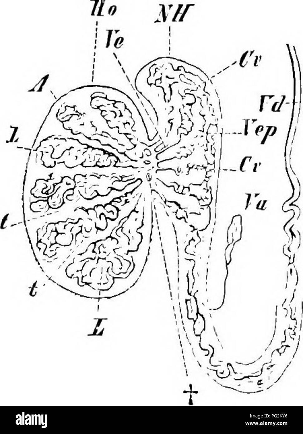 Elemente der vergleichenden Anatomie der Wirbeltiere. Anatomie ...