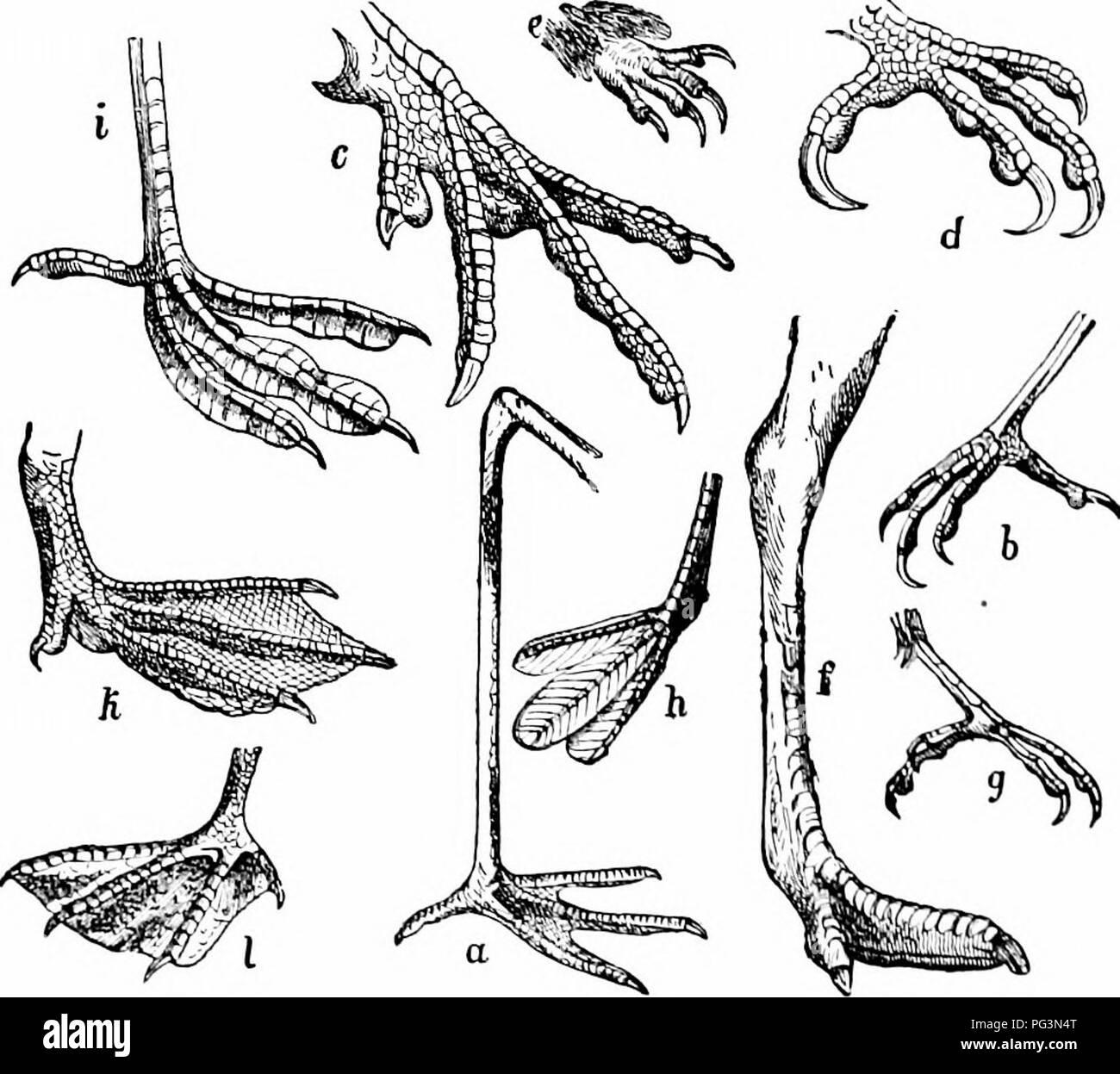 """. Ein Handbuch der Zoologie. Zoologie. 542 CnORDATA Es ist wahrscheinlich, dass (Liegen aus Ralites carinatc Formen durch Verlust von Macht der Tli abgestiegen, ich; Hl. Die anatomischen Unterschiede zwischen den verschiedenen Familien laden zu einem beliee, dass die-ha"""" e von dilTerent Gruppen von carinates entstanden und daher nicht eine natürliche Gefüge bilden. Abschnitt I. STI^ UTHIOXES, lange Humerus, Beine und Hals. Stritthion-ID. E, zwei-toed Strauße. frica, Slnilliio. Rheid.ic, Süden. merican Drei-toed Strauße, Rhea. Abschnitt II. C. SU. RIN.; drei Zehen, humerus kurz. Droiiu,: """"ns. Emus; Casiiariiis, kasuare. Wissenscha Stockbild"""