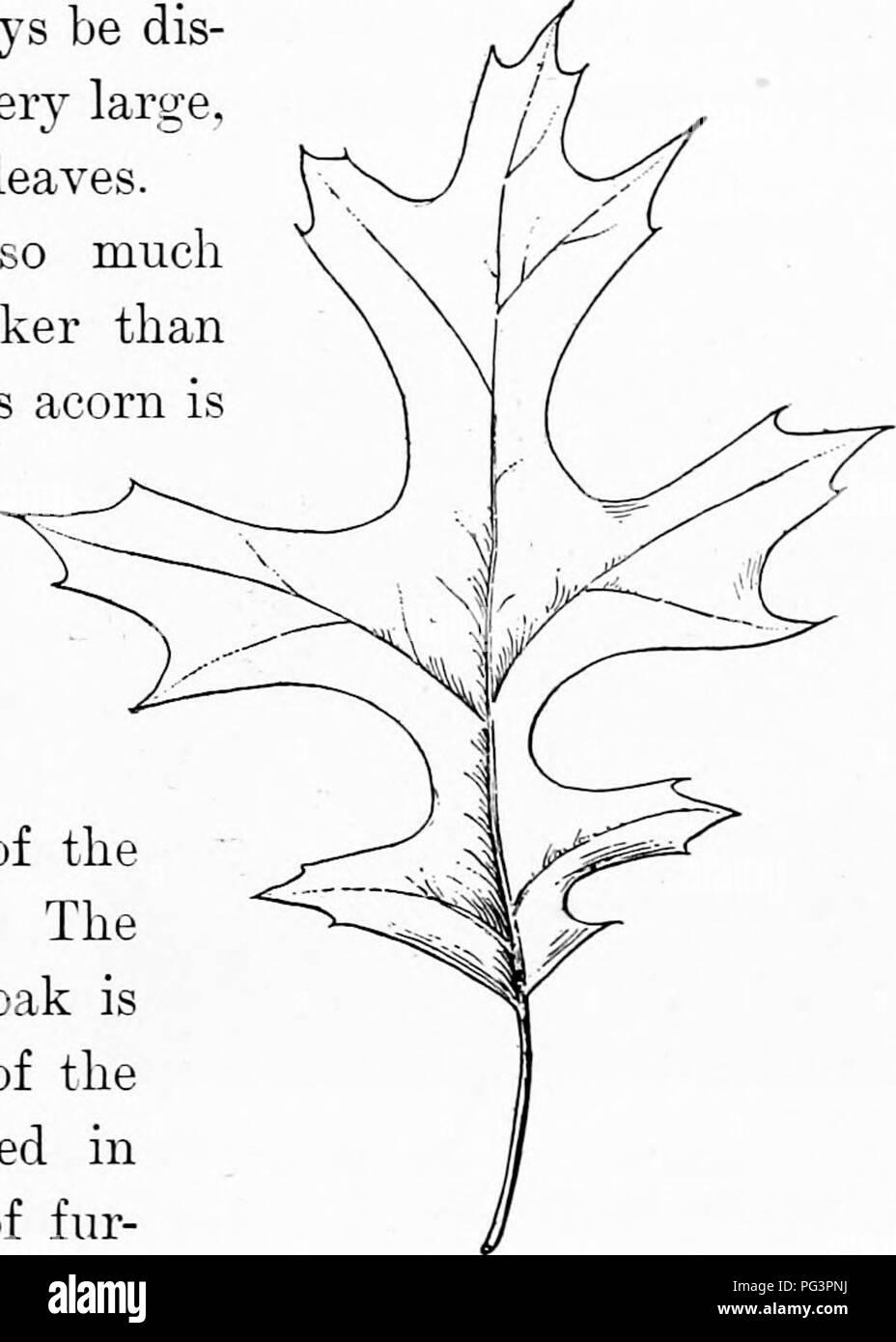 Elementare Holzbearbeitung. Holzarbeiten; Bäume. Die Eichen