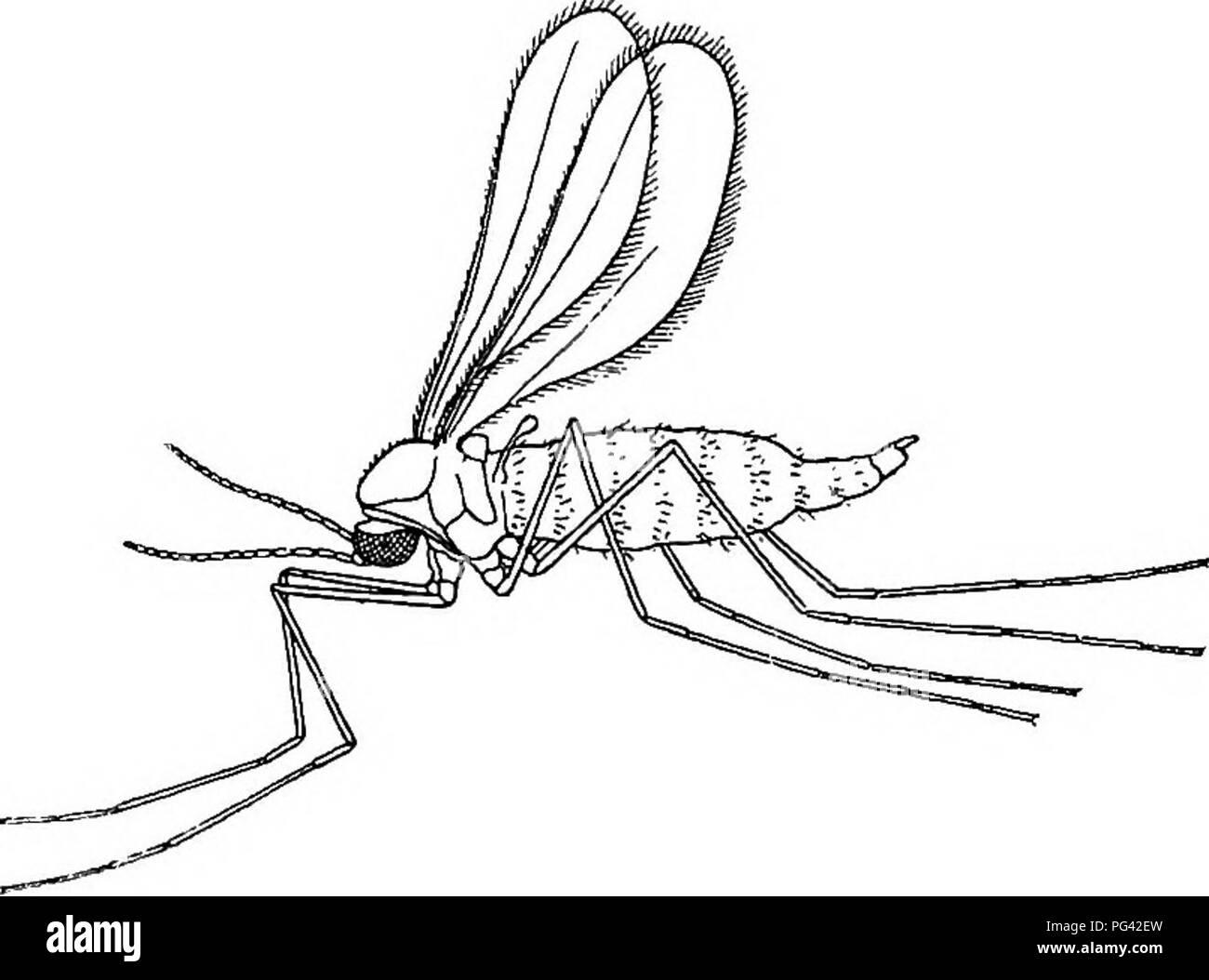 . Schädliche und nützliche Insekten; eine Einführung in das Studium der ökonomischen Entomologie. Insekten; nützliche Insekten und Schädlinge. Abb. 76.-Hessische-fliegen. X 10. wieder, und seine Art und Weise arbeiten. Für diese vorzubereiten, bringt er den Kopf, runde, bis es nach oben zeigt. Herr Enock ist der Ansicht, dass die zweigleisige Skala auf der Unterseite des prothorax seinen besonderen Einsatz in dieser Drehbewegung findet. Wenn alle. Bitte beachten Sie, dass diese Bilder aus gescannten Seite Bilder, die digital für die Lesbarkeit verbessert haben mögen - Färbung und Aussehen dieser Abbildungen können nicht Perfekt ähneln den oder extrahiert werden Stockbild