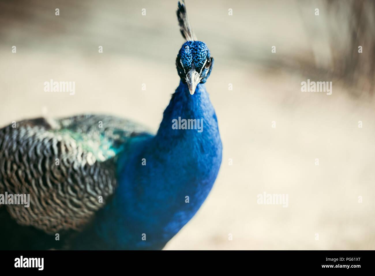 Nahaufnahme Blick auf den wunderschönen Peacock mit bunten Federn im Zoo Stockbild