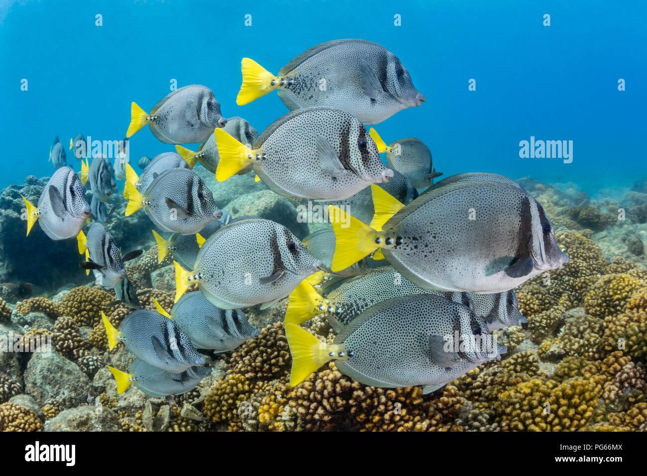 Gelb - Schwanz Doktorfische Beweidung für Algen in San Rafaelito, Meer von Cortez (Prionurus punctatus) Stockbild