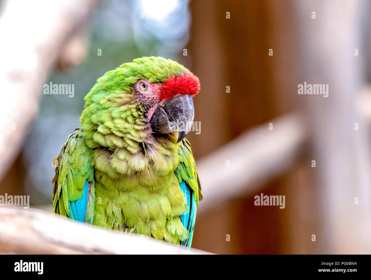 Nahaufnahme von einem Papagei Stockbild