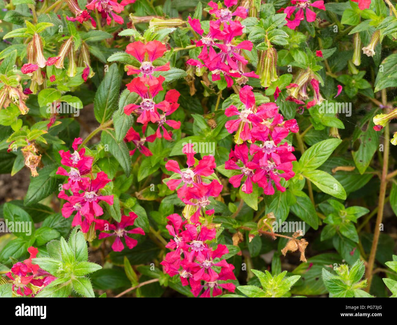 Rote Blumen von Cuphea blepharophylla, eine Ausschreibung mehrjährig normalerweise angebaut als jährliche für Sommer Bettwäsche Systeme Stockbild
