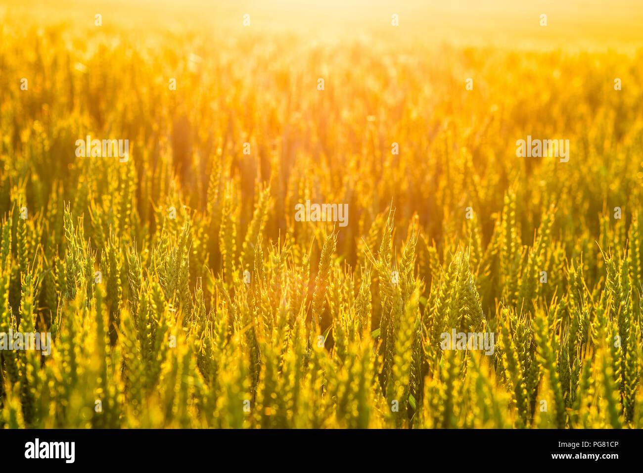 Großbritannien, Schottland, East Lothian, Sonnenuntergang am Ende eines heißen Tages leuchtet durch ein Feld von Weizen (Triticum) Stockbild